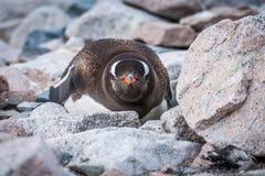 Gentoo pingwin patrzeje kamerę na skałach zdjęcie royalty free