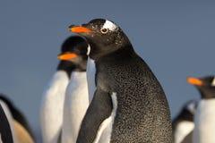 Gentoo pingwin patrzeje w kierunku kamery (Pygoscelis Papua) Obrazy Royalty Free
