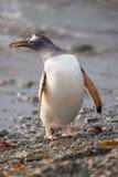 Gentoo pingwin, Południowy Gruzja, Antarctica Zdjęcia Royalty Free
