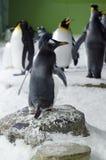 Gentoo pingwin - Pygoscelis Papua Obraz Stock