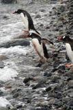 Gentoo pingwin, target1127_1_ w Południowego Ocean Zdjęcie Stock