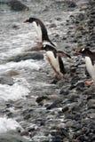 Gentoo pingwin, target1217_1_ w Południowego Ocean Zdjęcie Stock