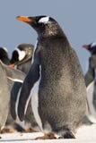 Gentoo pingwin w koloni (Pygoscelis Papua) Falkland wyspy Obraz Stock