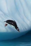 Gentoo pingwinu doskakiwanie od góry lodowa Obrazy Royalty Free