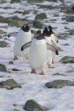 Gentoo pingwinu grupy przybycie od koloni Zdjęcia Stock