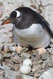 Gentoo pingwinu kobieta blisko gniazdeczka w którym dwa jajka Zdjęcia Royalty Free