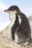 Gentoo pingwinu kurczątko blisko gniazdeczka na popołudniu Obrazy Royalty Free