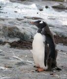 Gentoo pingwinu kurczątko na Petermann wyspie, Antarctica obraz stock