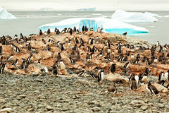 Gentoo pingwinu lęgowa kolonia, Antarctica Fotografia Royalty Free