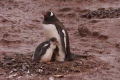 Gentoo pingwinu rodzina Obrazy Stock