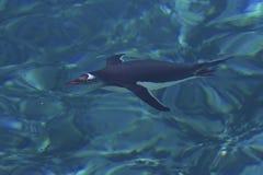 Gentoo pingwinu unosić się podwodny w jasnej wodzie mrówka Obrazy Stock