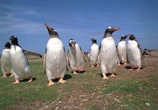 gentoo pingwiny Zdjęcia Royalty Free