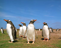 Gentoo pingwiny Obrazy Stock