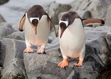 Gentoo pingwiny Obrazy Royalty Free