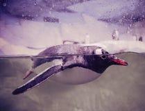 Gentoo pingwiny zdjęcia stock