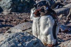 Gentoo pingwiny dobierają się pozycję na skałach, Cuverville wyspa, Zdjęcia Royalty Free