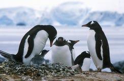 Gentoo pingwiny i kurczątka przy rookery w raju schronieniu, Antarctica (Pygoscelis Papua) Fotografia Stock