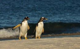 Gentoo pingwiny na piaskowatym wybrzeżu zdjęcia stock