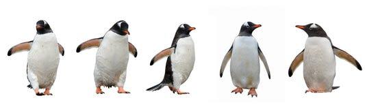 Gentoo pingwiny odizolowywający na bielu Fotografia Stock