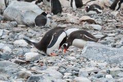 Gentoo pingwiny target228_1_ miejsce dla gniazdeczka Obrazy Royalty Free