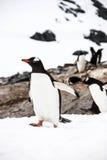 gentooen isolerade pingvinet Arkivfoto