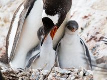 Gentoopinguïn, Pygoscelis Papoea, moeder voedend kuiken, Antarcti stock fotografie