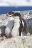 Gentoopinguïn twee kuikens die in nest in afwachting van pari zitten Stock Foto