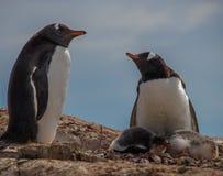 Gentoopinguïnen in Antarctica stock foto