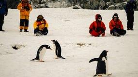 Gentoopinguïnen die mensen in Antarctica op Cuverville-Eiland ontmoeten royalty-vrije stock foto's