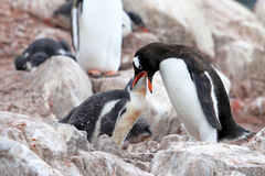 Gentoopinguïnen, moeder en kuiken, Pygoscelis Papoea, Antarctisch Schiereiland Royalty-vrije Stock Foto's