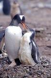 Genttoo y polluelo Imagenes de archivo