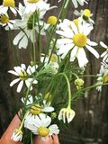 Genuine chamomile. Hand Bouquet of genuine chamomile on Wood background Stock Images