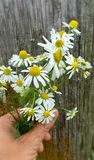 Genuine chamomile. Hand Bouquet of genuine chamomile on Wood background Royalty Free Stock Photography