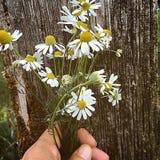 Genuine chamomile. Hand Bouquet of genuine chamomile on Wood background Stock Photos
