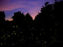 Genuine firefly trails in Italy, 2017. Beautiful insects in country lane late evening, night. Not just yellow dots added in post production royalty free stock photos