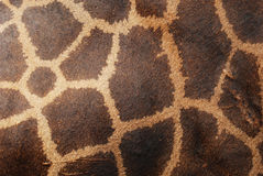 Genuine leather skin of giraffe Royalty Free Stock Photos