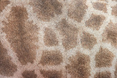 Genuine leather skin of giraffe Stock Photography