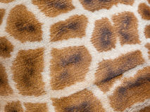 Genuine leather skin of giraffe Stock Image