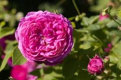genus постоянная лоза цветка shrub rosa розовая стоковое изображение