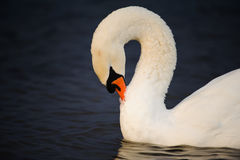 Genus cygnus swan Royalty Free Stock Photos