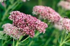 Genus Sedum Flower or stonecrop Stock Images