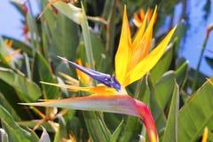 Genus strelitzia reginae orange bird flower. Genus strelitzia reginae orange bird of paradise flower Royalty Free Stock Image
