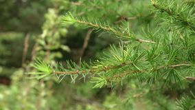 The genus of woody plants of the Pine family. Larch or larix tree branches with delicate needle-like green leaves. Larch tree green branches. Larix plant twigs stock footage