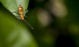 Genus zelus or assassin orange bug hanging on a leaf Stock Image