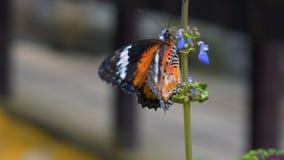 Genutia del danaus della farfalla della tigre sul fiore stock footage