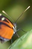 Genutia preto e alaranjado do Danaus da borboleta Fotografia de Stock Royalty Free