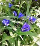 Genziana del fiore Immagine Stock