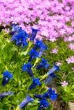Genziana della tromba, fiore blu della sorgente in giardino Fotografia Stock Libera da Diritti