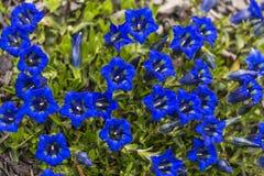 Genziana - molti fiori del blu immagine stock libera da diritti
