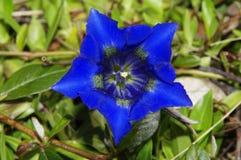 Genziana Stemless blu Immagini Stock Libere da Diritti